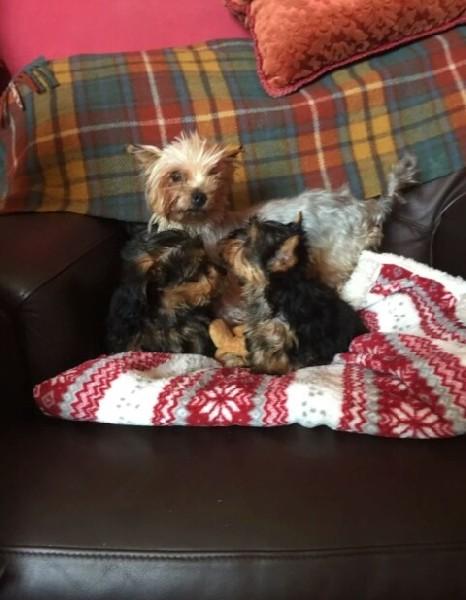 Piękne Kc Reg Yorkshire Terrier Szczenięta Do Adopcji