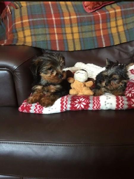Piękne Kc Reg Yorkshire Terrier Szczenięta Do Adopcji 3